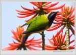 2005/03/19 Orange-bellied Leafbird(Male) 橙腹葉鵯(雄鳥)