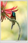 2005/03/19 Fork-tailed Sunbird(Male) 叉尾太陽鳥(雄鳥)